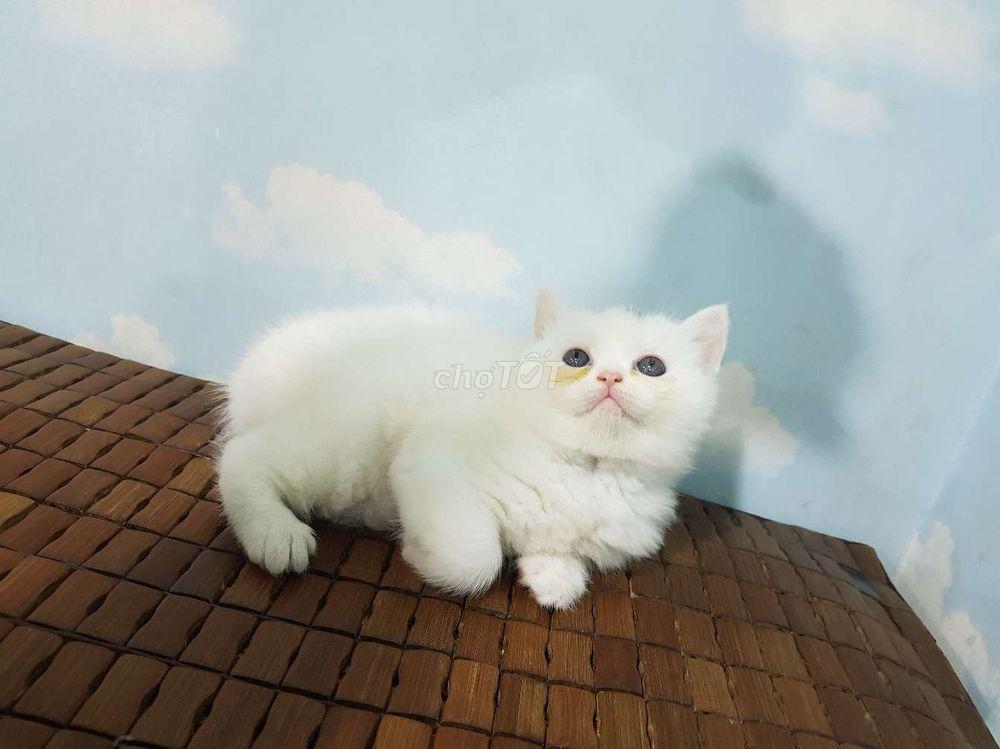 Mèo con cái 40 ngày tuổi lai 34 và ALN