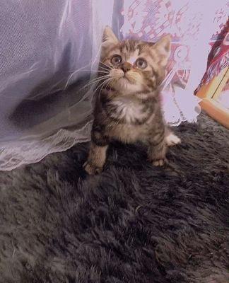 Mèo aln màu sọc dưa classic 2 tháng tuổi