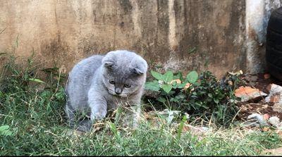 Mèo aln munchkin xám xanh