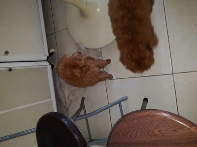 Poodle  con 2 đực 2 cái