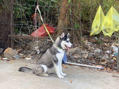 Husky 4 tháng hơn