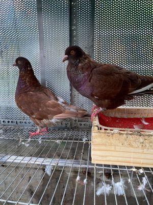 Cặp bồ câu gà lai 4 thág đã bắt cặp