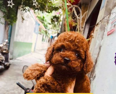 0798572696 - Chó poodle 2 tháng tuổi