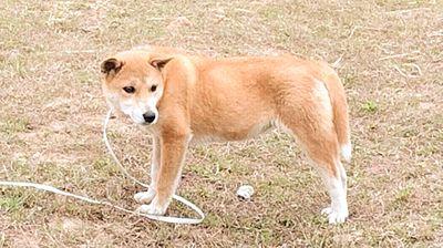 Chó dingo đông dương ,bắc hà ,phú quốc ,Hmong cộc