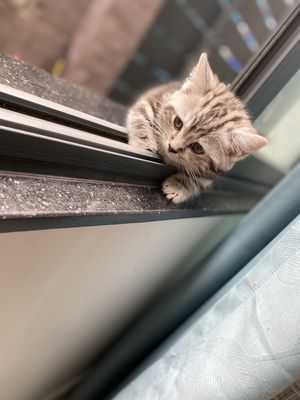 Mèo Munchkin 2 tháng tuổi