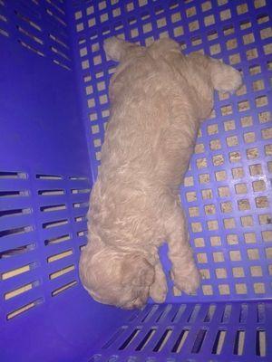 Chó poodle nâu đỏ và vàng mơ