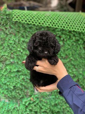 Chó Poodle chuẩn tiny 2bé đen đực & cái