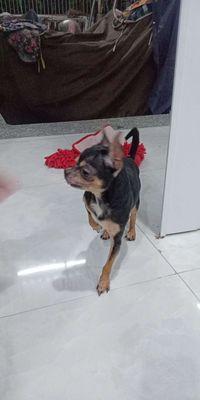 Chó chihuahua đực 17 tháng