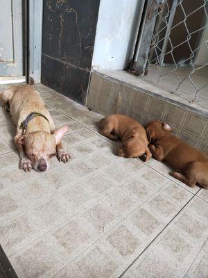 Bán chó con Chihuahua lai Poodle