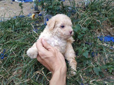 Chó poodle con mini chân lùn nhà nuôi chuẩn giống