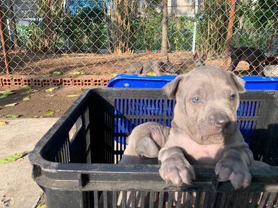 Chó xoáy thái lan mắt xanh.