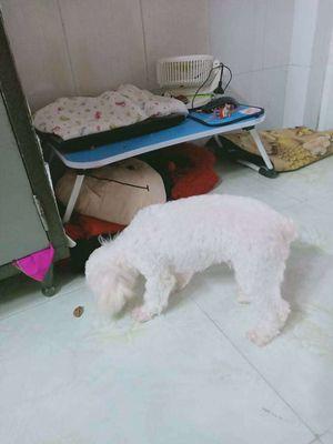 Chó poodle đực thuần chủng