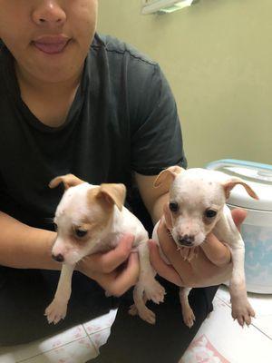 Chó phốc hươu mầu trắng nhỏ xinh 2,5 tháng