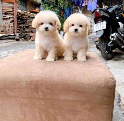 Chó poodle vàng mơ chuẩn tiny 72 ngày