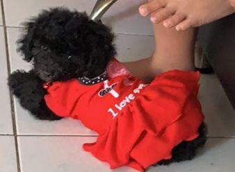 Chó poodle đen 3 tháng cần tìm nhà mới