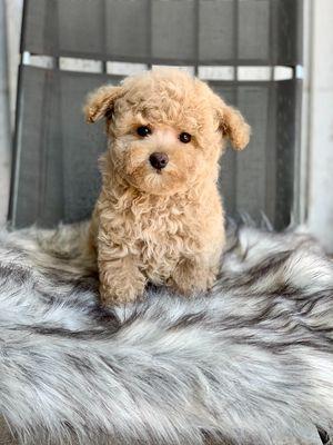 Chó Poodle cái màu vàng mơ