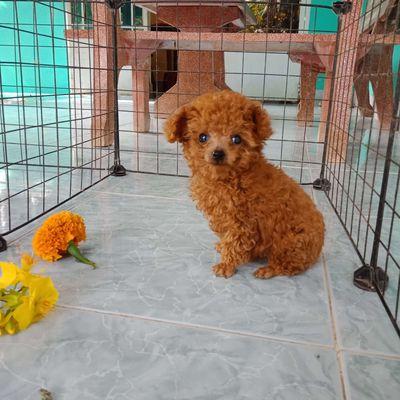 Chó kiểng Poodle, size mini, thông minh, 2 tháng