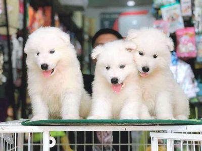 Chó samoyed trắng 2 tháng tuổi