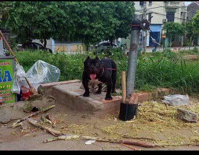 Chó bully exotic cái