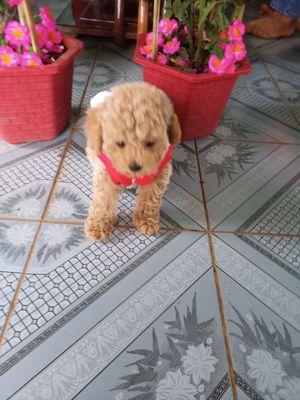 Chó nhà đẻ , Poodle tiny cái , chích 2 mũi