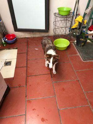 Border Collie cái màu nâu lilac 7 tháng tuổi!