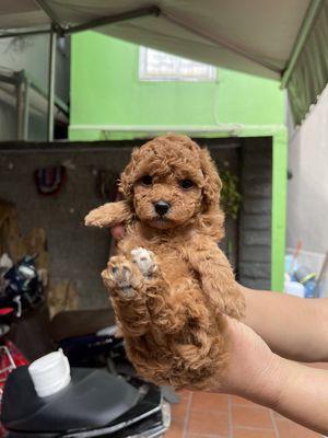Poodle Nâu đỏ Tiny toy thuần chủng , chó nhà đẻ
