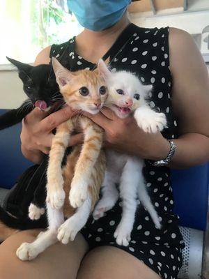 Mèo lai trắng đen vàng ngoài 2 tháng