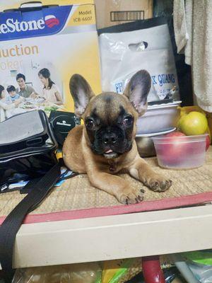 Chó bull pháp 4 tháng tuổi đã tiêm đủ 2 mũi