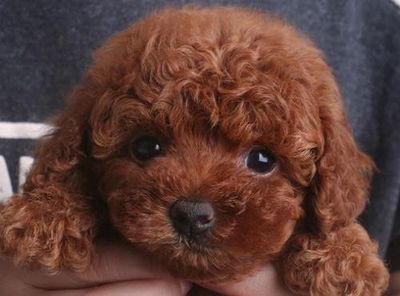 Chó Poodle con giá sinh viên! Ship tận nơi!