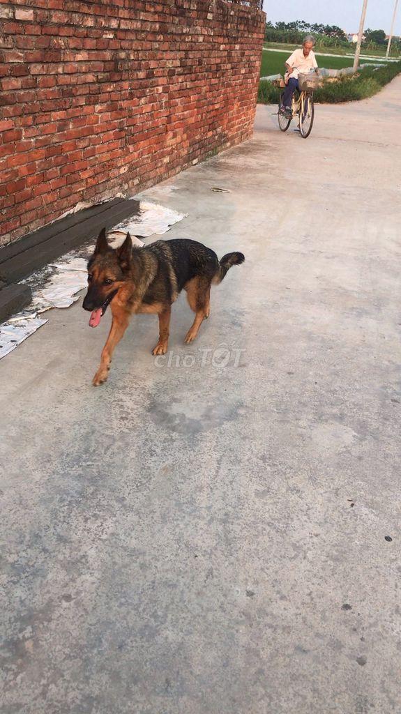 0979789437 - Bán chó béc giê cái đã qua huấn luyến 7,5tr