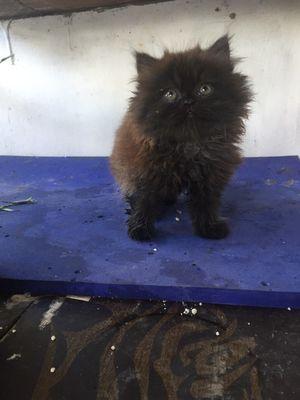Mèo ALD 2.5 tháng tuổi