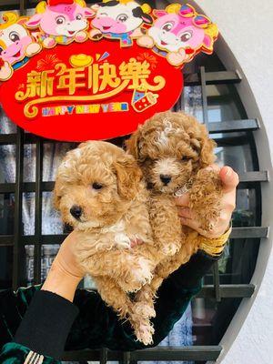 Chó poodle size tiny