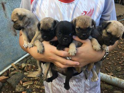Cần bán 5 em chó nhật lai chihuahua