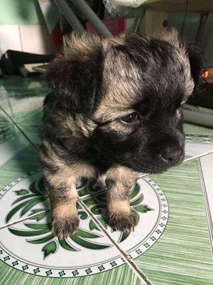 Chó Nhật lai poodle