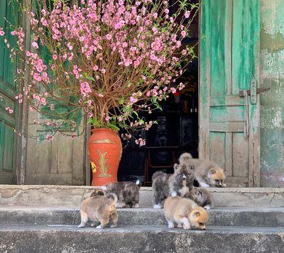 Chó Akita - Quốc khuyển Nhật Bản