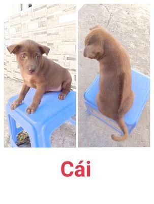 Chó Phú Quốc lai khu vực Vĩnh Long