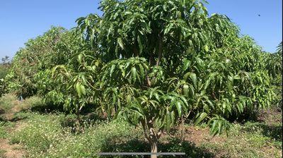 Bán nhanh vườn trái cây 10ha Ia Hla, Chư Pưh, GL