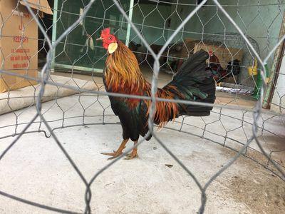 Cần bán gà quê ở lại a siêu Mỹ giáp