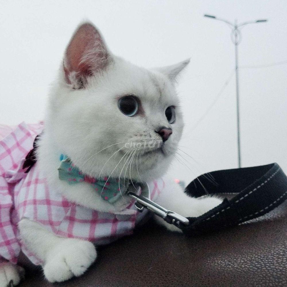 Nhận phối mèo silver point mắt xanh