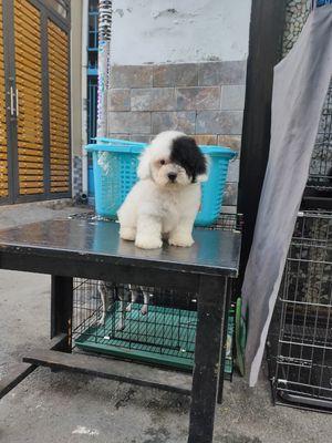 Chó poodle đực / cái vàng mơ xám bò sữa xám 3 t