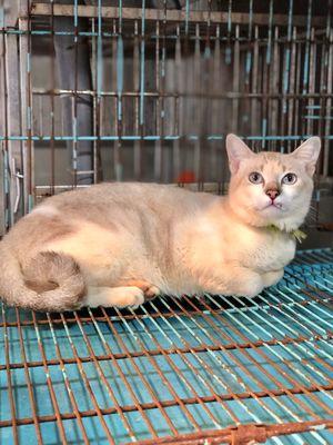 Mèo Anh Lông Ngắn Bicolor Mắt xanh đực 7tháng
