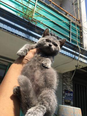 Mèo aln munchkin