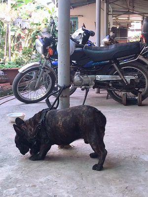 Chó bull pháp 10 tháng tuổi.