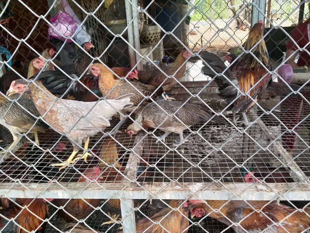 Gà tre bán ăn thịt gà tre 1 con khoảng 7lang hay8
