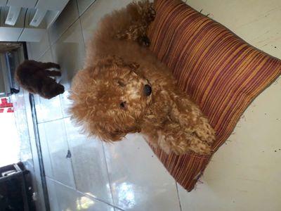 Giống chó poodle nâu đỏ 3,5 tháng tuổi