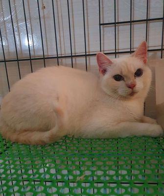 Mèo Đực Trắng ALN Anh lông ngắn 1 tuổi