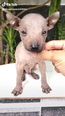 Chó Peru loài chó Không Lông