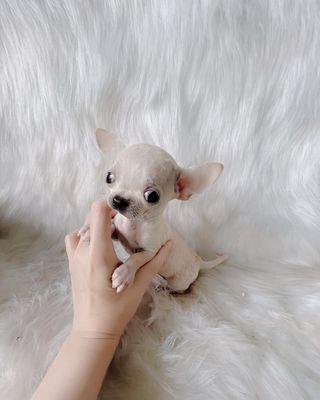 ❤️SIÊU PHẨM Chó Chihuahua Đực Teacup ❤️