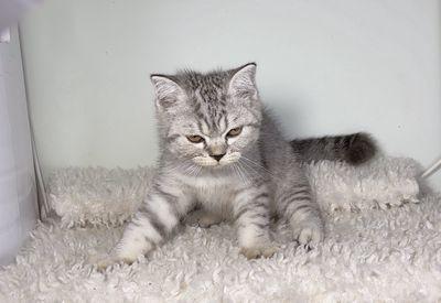 Mèo Anh Lông Ngắn Silver Tabby