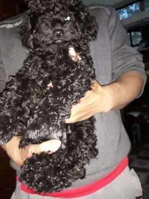 Poodle cái đen yếm trắng.6 tháng